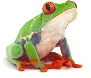 Rain-Forest-Frog